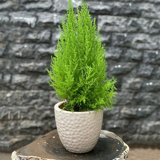 Giá chỉ từ 350.000 đồng, những cây thông Noel tươi đang hấp dẫn người tiêu dùng trong dịp Giáng sinh sắp đến - Ảnh 3.