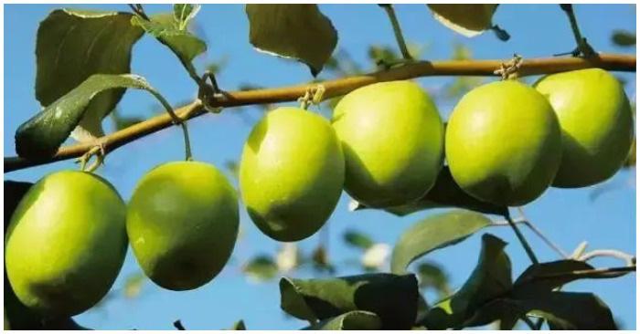 Loại quả giòn tan, nhiều vitamin gấp 10 lần cam, quýt này đang vào mùa, bạn hãy tranh thủ mua về ăn và chữa vô số bệnh - Ảnh 5.