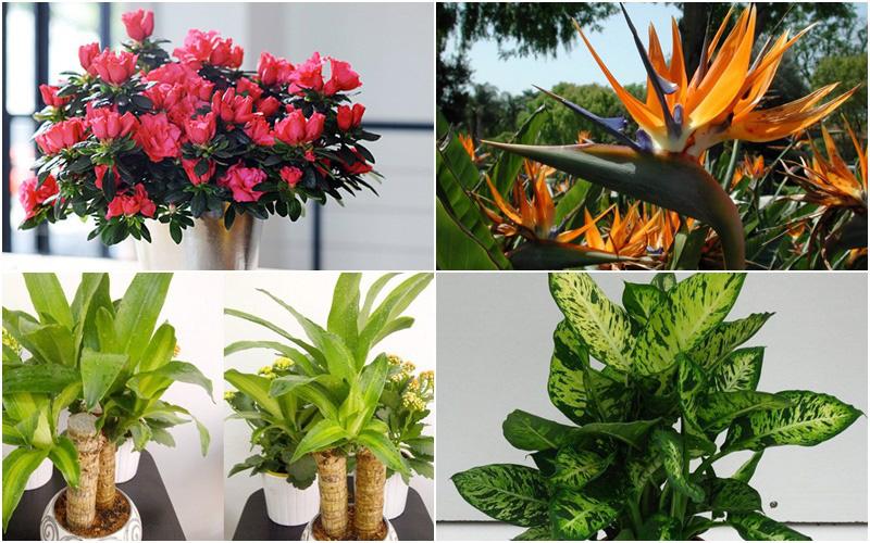 Cẩn thận với những cây cảnh có độc được trồng phổ biến trong nhà