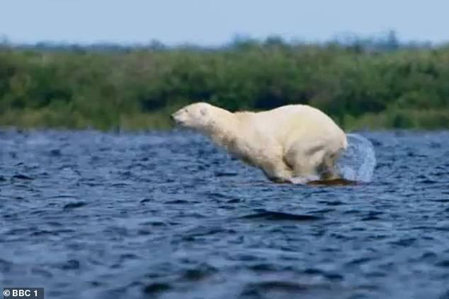 Khoảnh khắc xót xa phản ánh hệ quả của biến đổi khí hậu: Băng tan, gấu Bắc Cực đói khát liều mình tìm cách săn cá voi trắng - Ảnh 3.