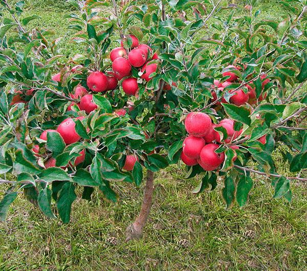 Chị em phấn khích với giống táo vỏ đỏ, ruột cũng đỏ mà lại không phải là quả biến đổi gen - Ảnh 1.