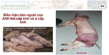 Thịt lợn nhiễm dịch tả châu Phi, người dân có nên tạm tẩy chay thịt lợn? - Ảnh 2.