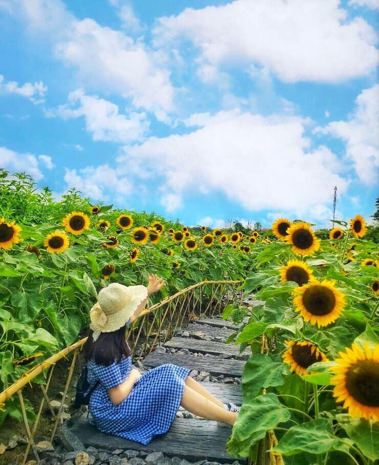 """Trời 38 độ hí hửng lên vườn hướng dương chụp hình thơ mộng, cô nàng bị cư dân mạng chế ảnh đi muôn nơi: """"Nắng thế này hoa héo hết rồi, chị hiểu hông?"""" - Ảnh 5."""