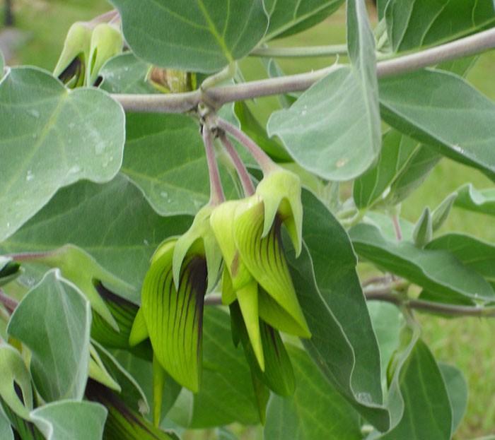 flower-like-hummingbird-green-birdflower-5d120e43113f6__700