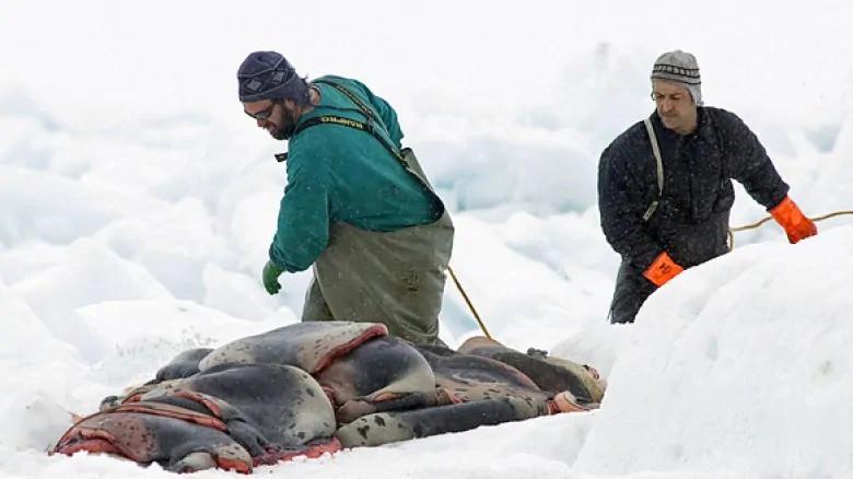 """""""Bữa tiệc' săn hải cẩu đẫm máu ở Canada: Hàng nghìn con vật bị truy cùng diệt tận, chỉ để phục vụ cho nhu cầu thời trang lông thú xa xỉ - Ảnh 4."""