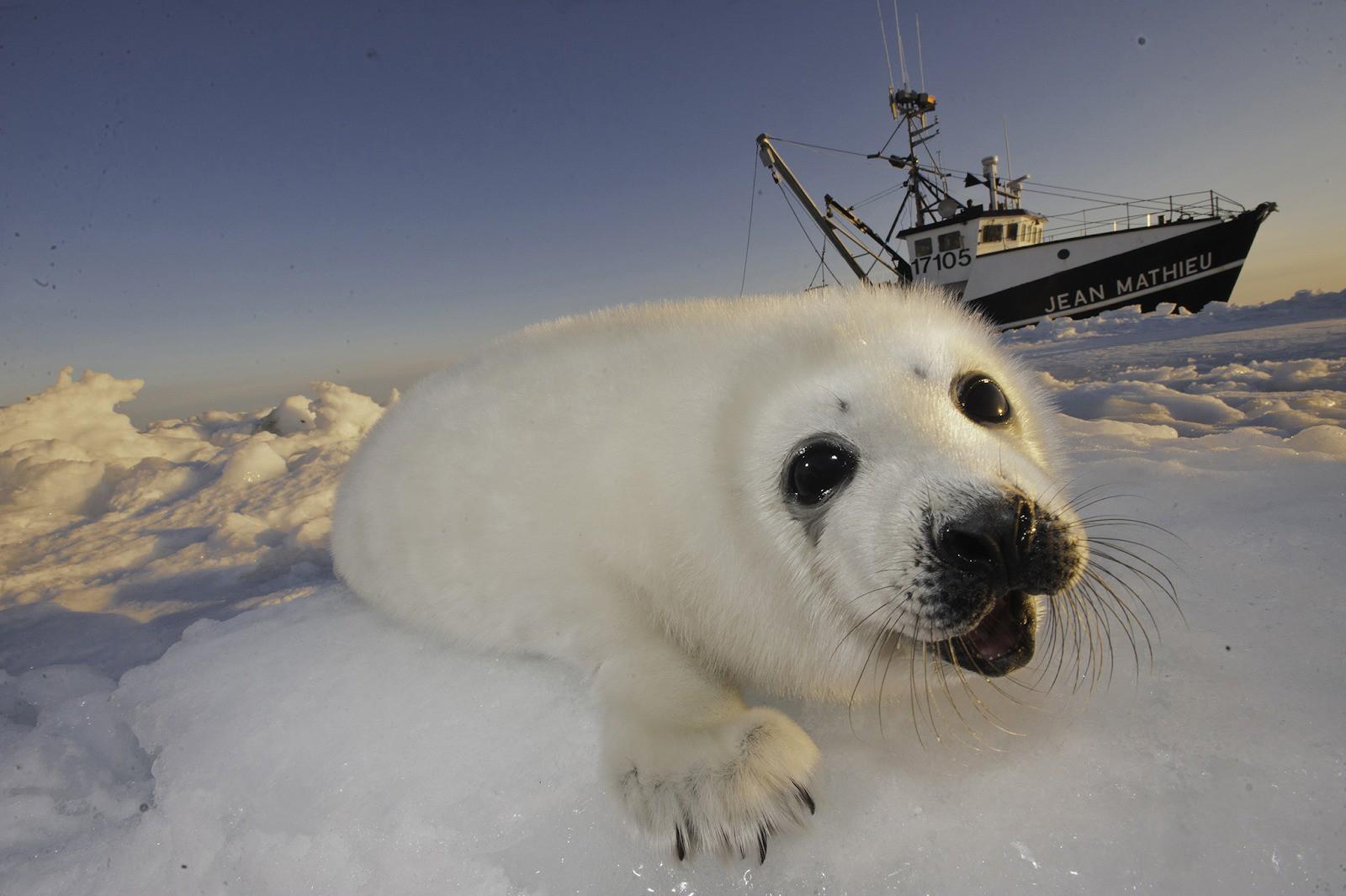 """""""Bữa tiệc' săn hải cẩu đẫm máu ở Canada: Hàng nghìn con vật bị truy cùng diệt tận, chỉ để phục vụ cho nhu cầu thời trang lông thú xa xỉ - Ảnh 3."""