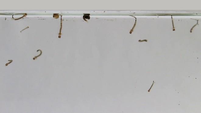 Kết hợp 2 kỹ thuật diệt muỗi bí truyền, các nhà khoa học triệt tiêu được 94% lượng muỗi tại hai hòn đảo Trung Quốc - Ảnh 4.