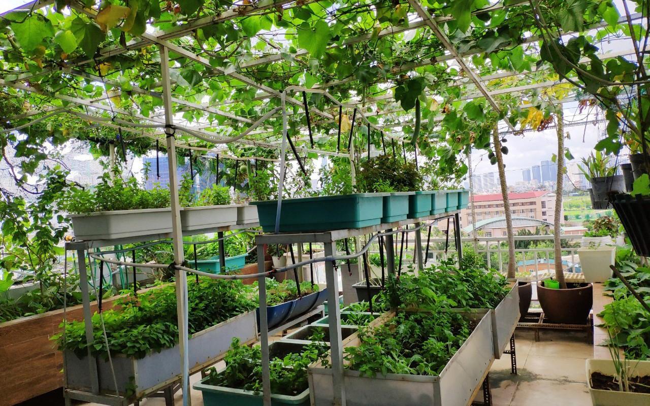 Doanh nhân Sài Gòn trồng cả vườn rau như trang trại và hồ sen trên sân thượng rộng 300m²