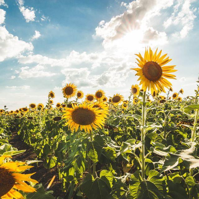 Cánh đồng hoa hướng dương triệu bông đẹp như bức tranh khổng lồ vào mùa thu ở Nhật Bản - Ảnh 11.