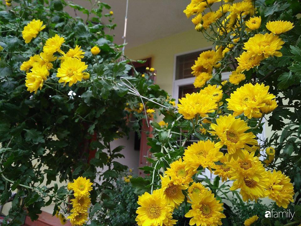 Ban công ngọt ngào gọi mùa xuân đến với những khóm cúc đua nhau khoe sắc ở Vĩnh Phúc - Ảnh 16.