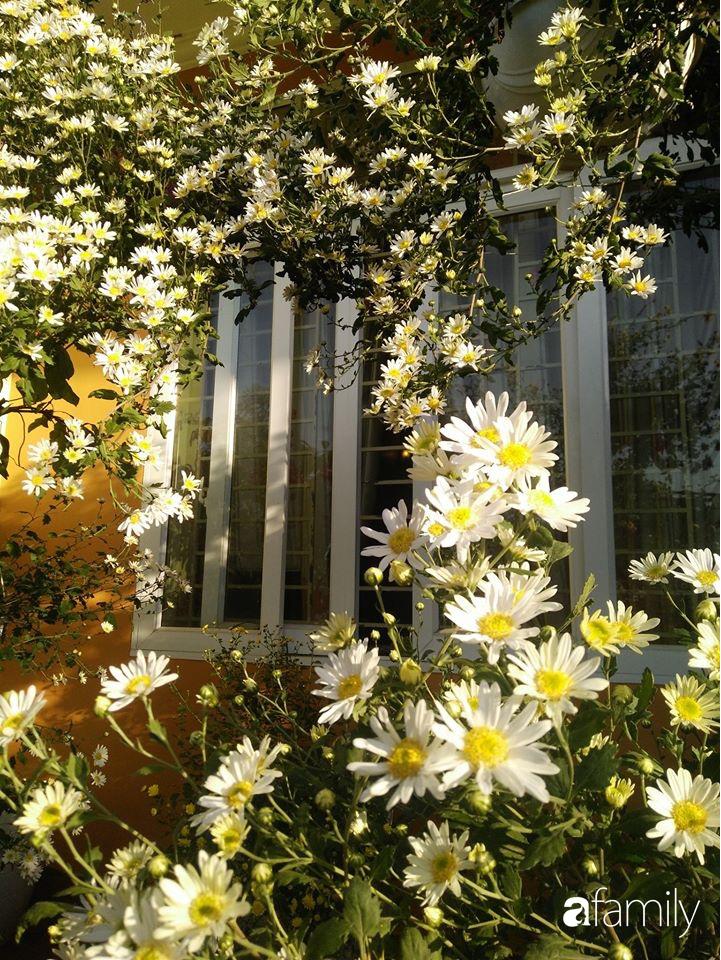 Ban công ngọt ngào gọi mùa xuân đến với những khóm cúc đua nhau khoe sắc ở Vĩnh Phúc - Ảnh 19.