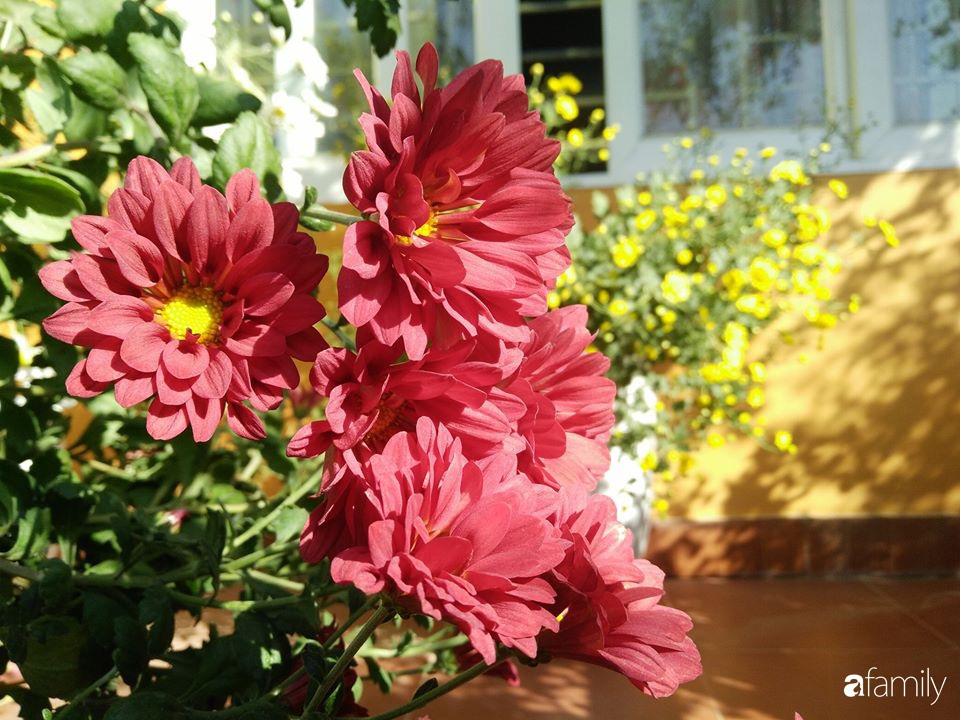 Ban công ngọt ngào gọi mùa xuân đến với những khóm cúc đua nhau khoe sắc ở Vĩnh Phúc - Ảnh 18.