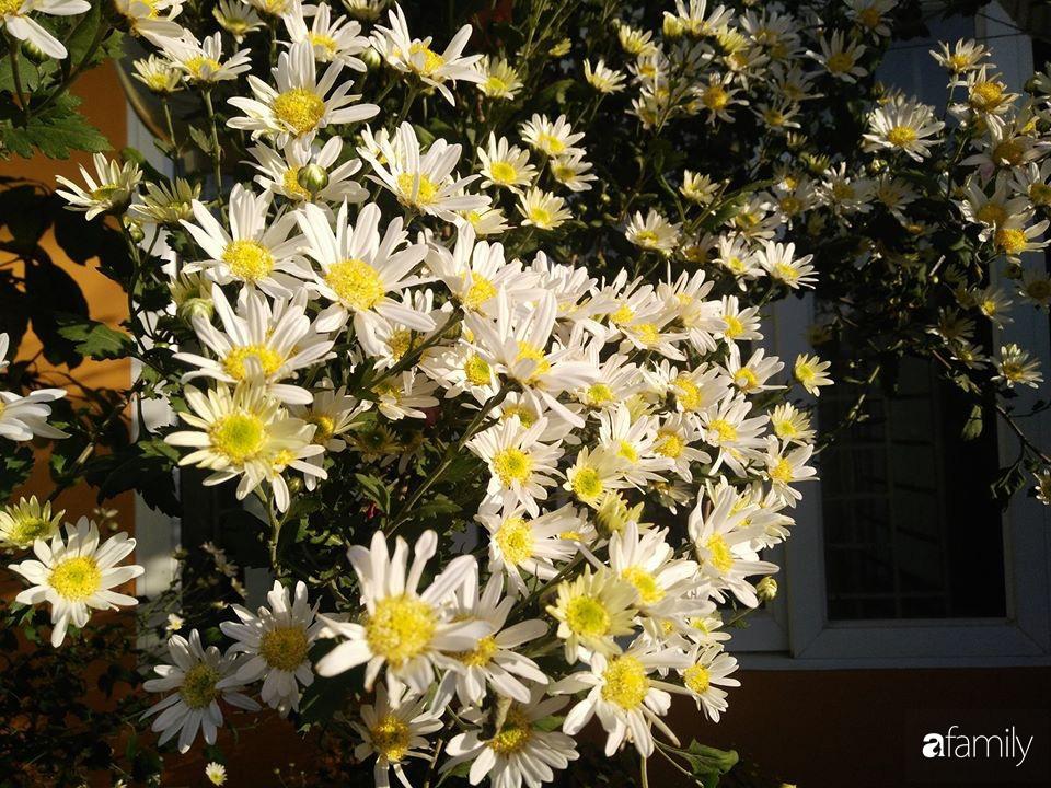 Ban công ngọt ngào gọi mùa xuân đến với những khóm cúc đua nhau khoe sắc ở Vĩnh Phúc - Ảnh 14.