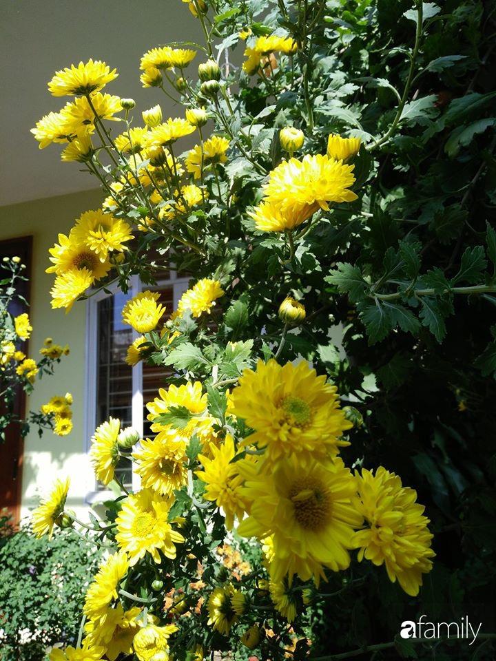 Ban công ngọt ngào gọi mùa xuân đến với những khóm cúc đua nhau khoe sắc ở Vĩnh Phúc - Ảnh 13.
