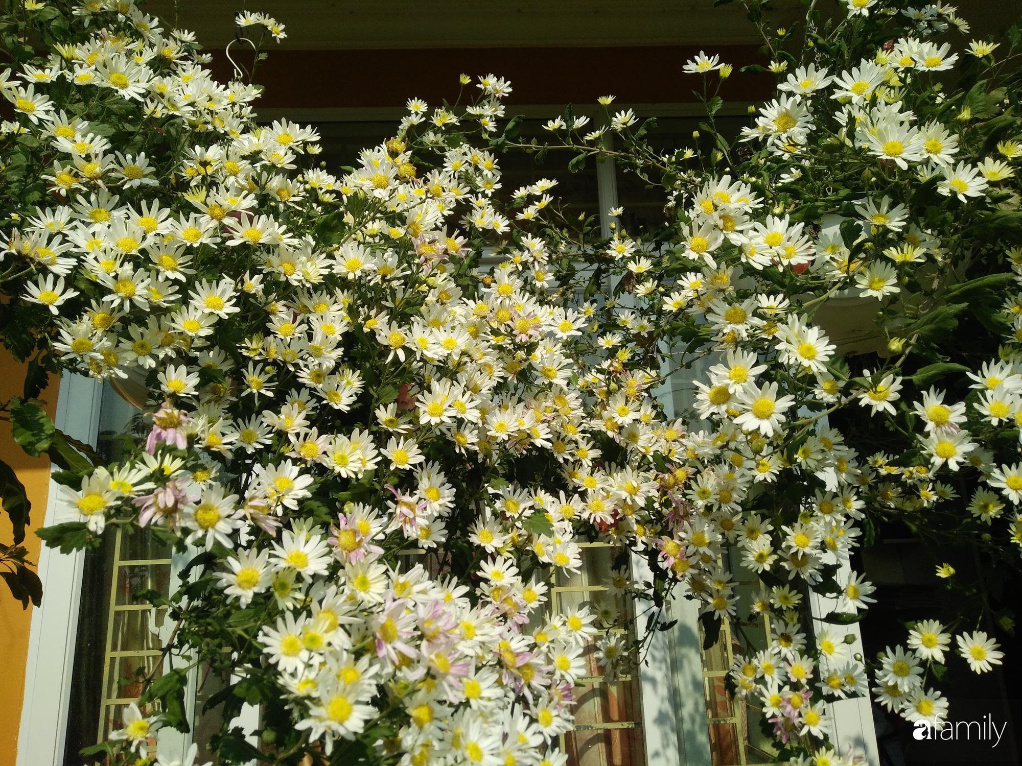 Ban công ngọt ngào gọi mùa xuân đến với những khóm cúc đua nhau khoe sắc ở Vĩnh Phúc - Ảnh 11.