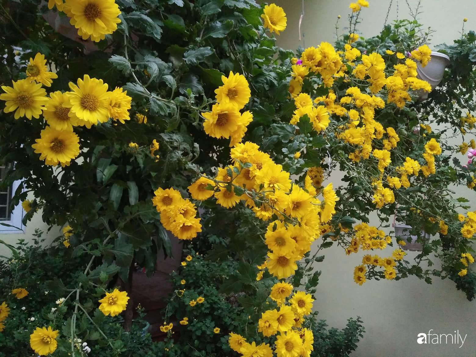 Ban công ngọt ngào gọi mùa xuân đến với những khóm cúc đua nhau khoe sắc ở Vĩnh Phúc - Ảnh 9.