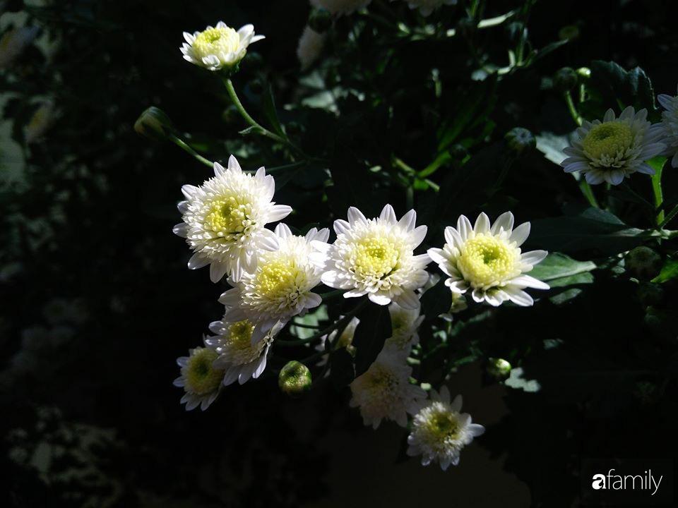 Ban công ngọt ngào gọi mùa xuân đến với những khóm cúc đua nhau khoe sắc ở Vĩnh Phúc - Ảnh 8.