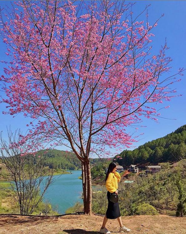 Mùa hoa mai anh đào lại hồng rợp Đà Lạt, hội chị em chen nhau chụp ảnh check in xinh lung linh như ở Hàn - Ảnh 7.