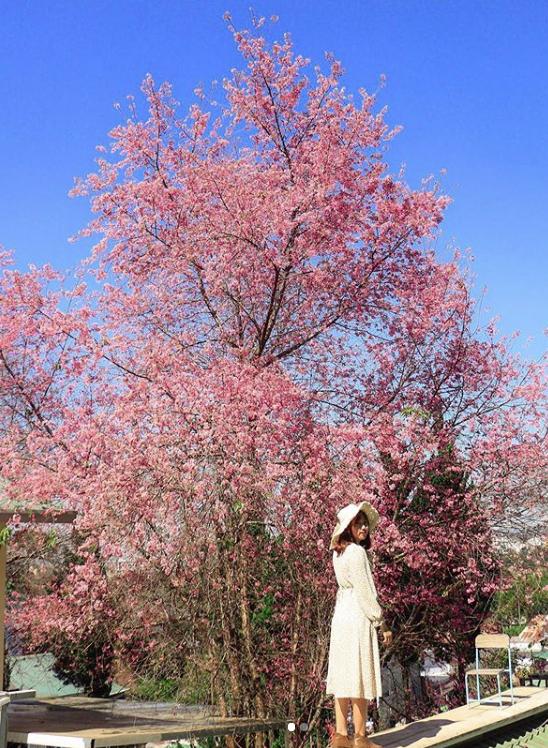 Mùa hoa mai anh đào lại hồng rợp Đà Lạt, hội chị em chen nhau chụp ảnh check in xinh lung linh như ở Hàn - Ảnh 4.