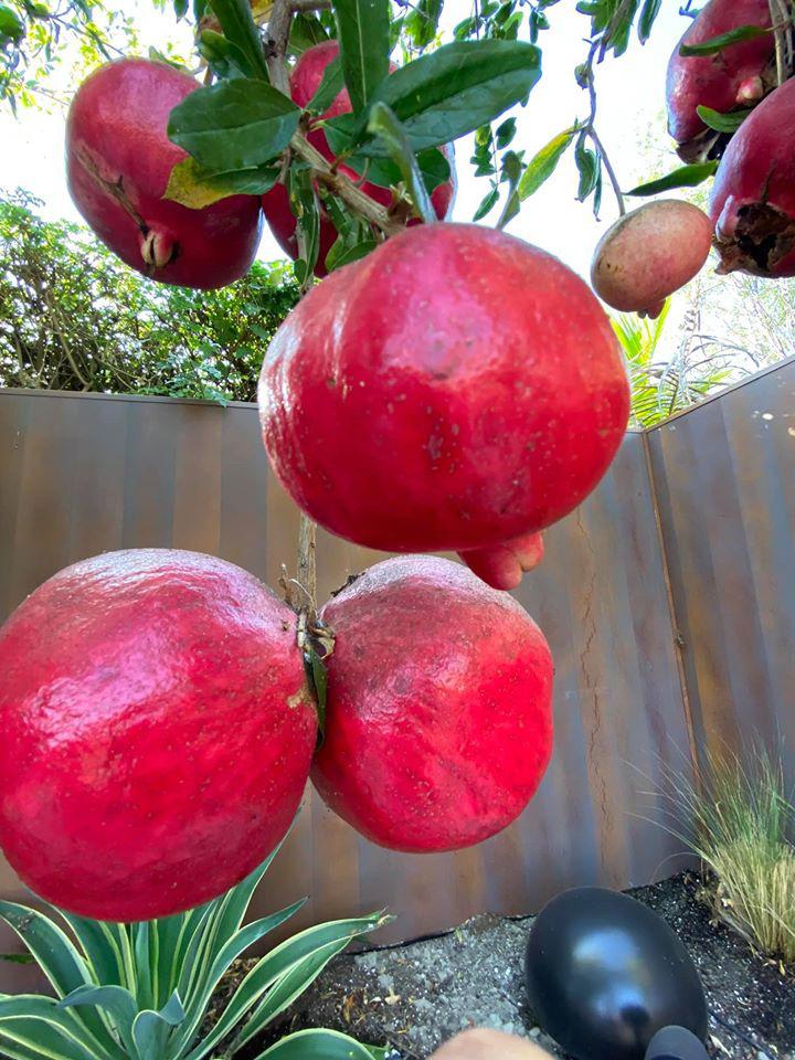 Dương Mỹ Linh thu hoạch lựu chín đỏ trong vườn nhà ở Mỹ - Ảnh 6.