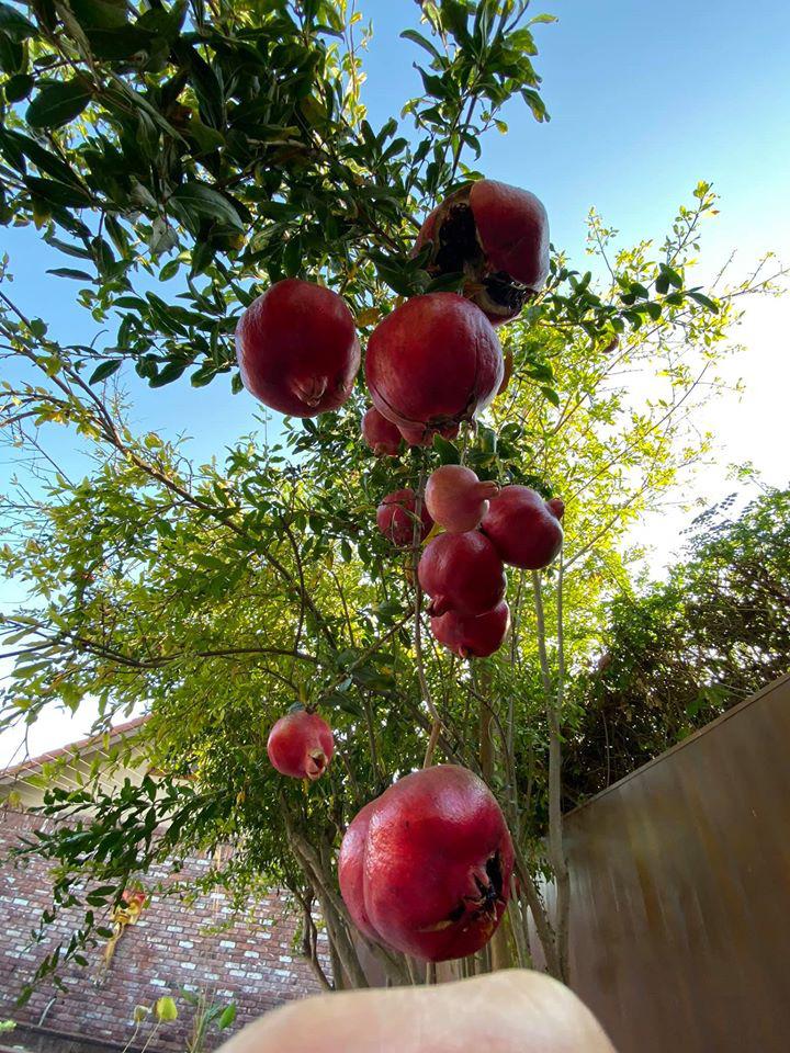 Dương Mỹ Linh thu hoạch lựu chín đỏ trong vườn nhà ở Mỹ - Ảnh 4.