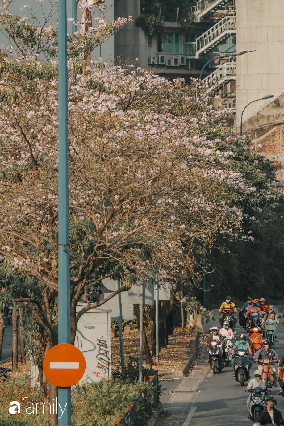Chùm ảnh: Sài Gòn trở nên khác lạ khi hoa Kèn hồng vào mùa nở rộ, nhưng lạ thay đến hơn một nửa người Sài Gòn chẳng biết đến sự tồn tại của loài hoa này? - Ảnh 5.