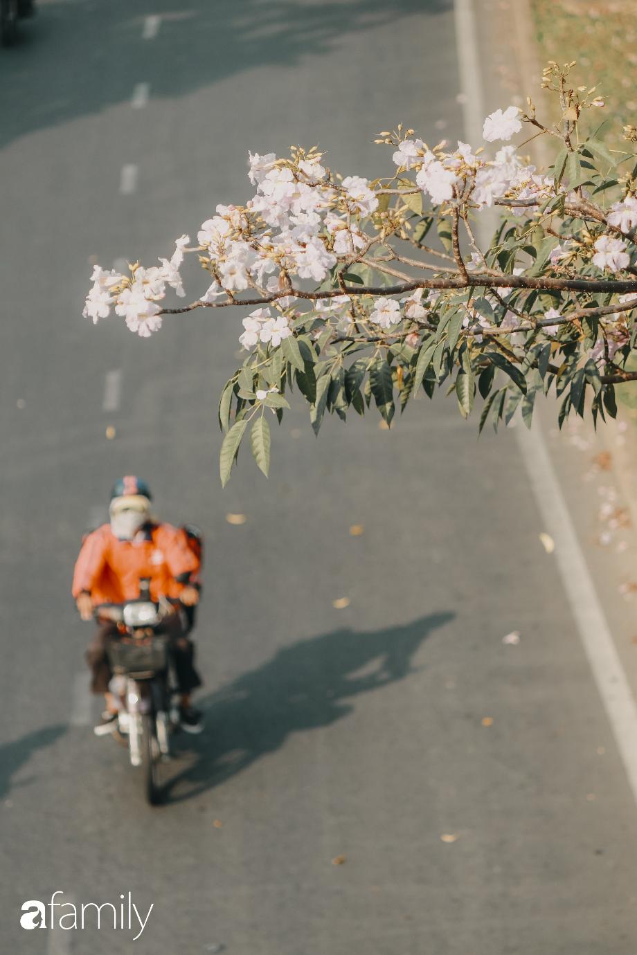 Chùm ảnh: Sài Gòn trở nên khác lạ khi hoa Kèn hồng vào mùa nở rộ, nhưng lạ thay đến hơn một nửa người Sài Gòn chẳng biết đến sự tồn tại của loài hoa này? - Ảnh 9.