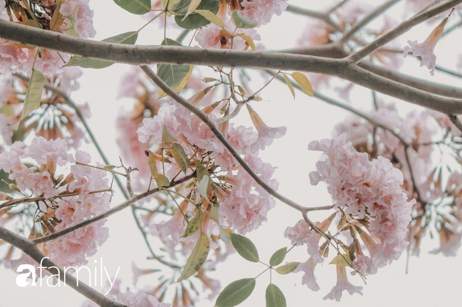 Chùm ảnh: Sài Gòn trở nên khác lạ khi hoa Kèn hồng vào mùa nở rộ, nhưng lạ thay đến hơn một nửa người Sài Gòn chẳng biết đến sự tồn tại của loài hoa này? - Ảnh 8.