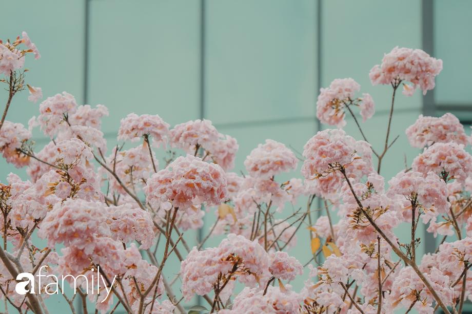 Chùm ảnh: Sài Gòn trở nên khác lạ khi hoa Kèn hồng vào mùa nở rộ, nhưng lạ thay đến hơn một nửa người Sài Gòn chẳng biết đến sự tồn tại của loài hoa này? - Ảnh 10.
