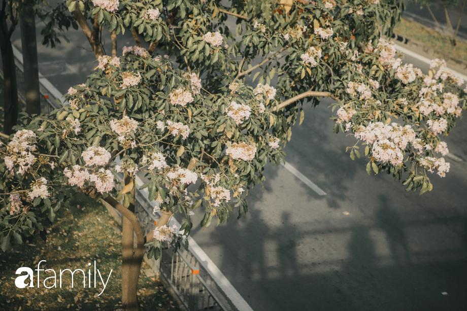 Chùm ảnh: Sài Gòn trở nên khác lạ khi hoa Kèn hồng vào mùa nở rộ, nhưng lạ thay đến hơn một nửa người Sài Gòn chẳng biết đến sự tồn tại của loài hoa này? - Ảnh 6.