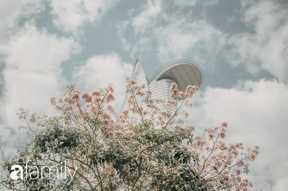 Chùm ảnh: Sài Gòn trở nên khác lạ khi hoa Kèn hồng vào mùa nở rộ, nhưng lạ thay đến hơn một nửa người Sài Gòn chẳng biết đến sự tồn tại của loài hoa này? - Ảnh 2.