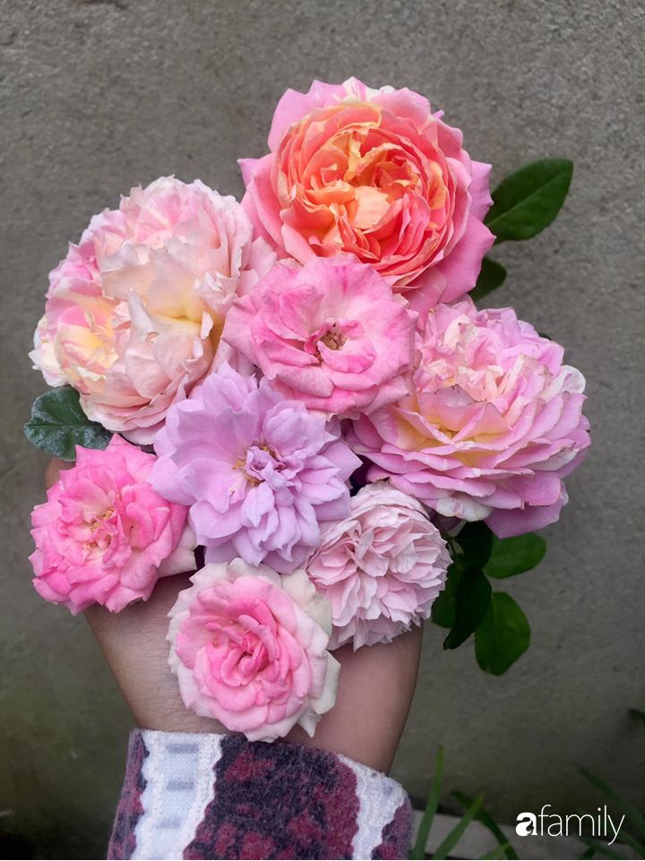 Mê hoa hồng, cô gái trẻ xứ Huế quyết tâm thức khuya dậy sớm tạo cả vườn hồng rực rỡ trên sân thượng - Ảnh 14.