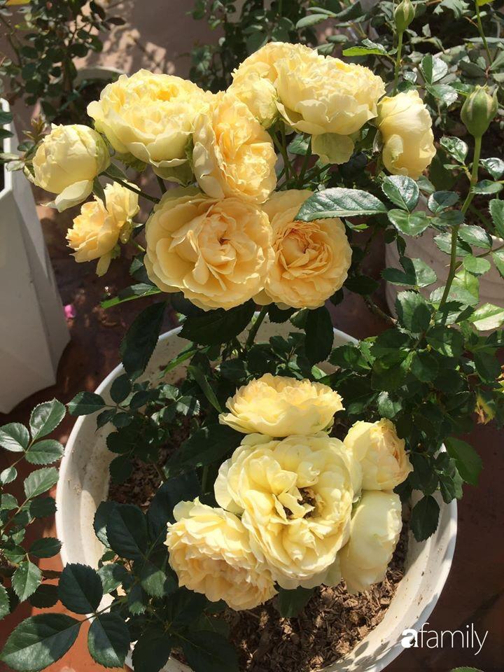 Mê hoa hồng, cô gái trẻ xứ Huế quyết tâm thức khuya dậy sớm tạo cả vườn hồng rực rỡ trên sân thượng - Ảnh 11.