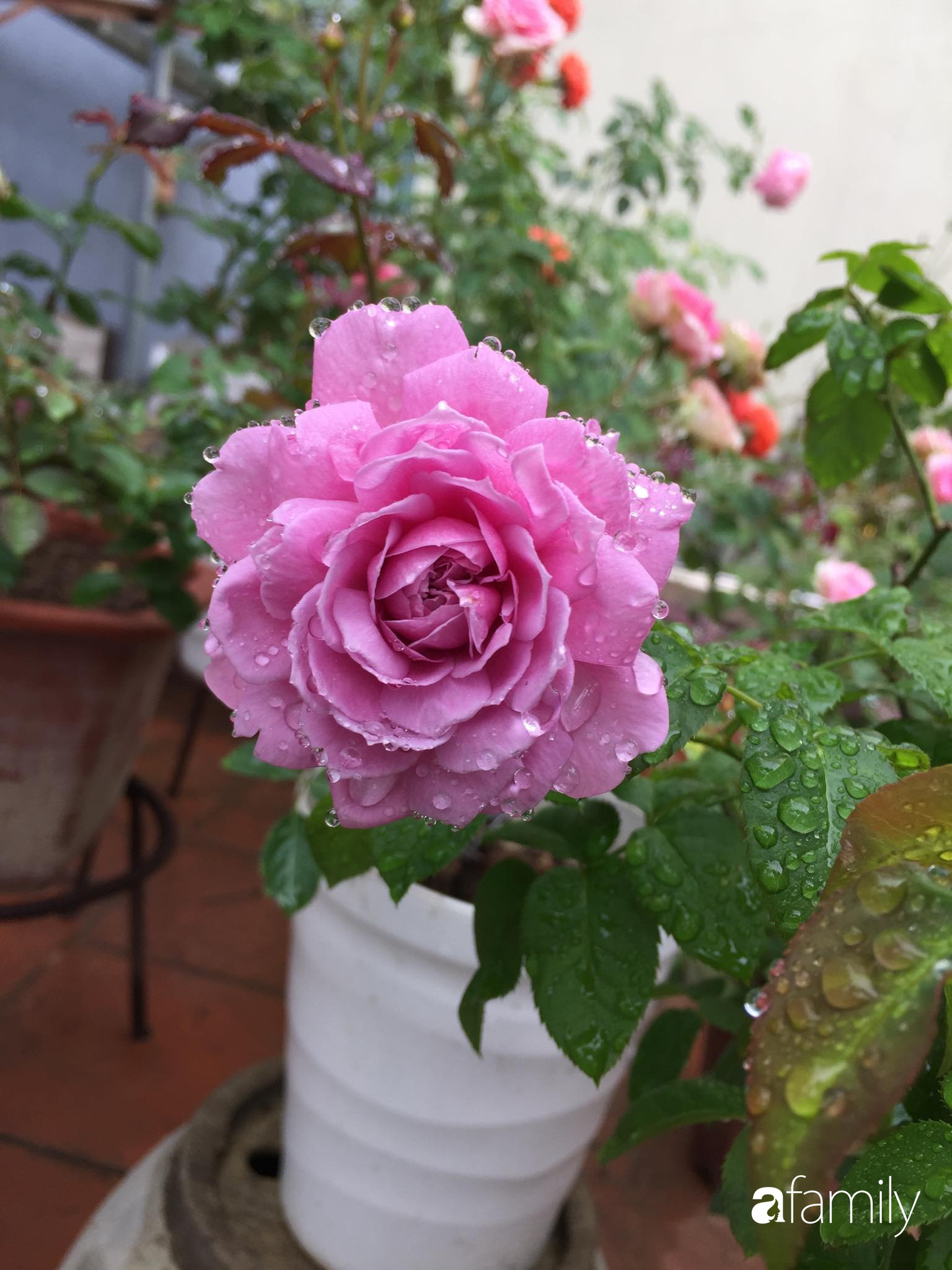 Mê hoa hồng, cô gái trẻ xứ Huế quyết tâm thức khuya dậy sớm tạo cả vườn hồng rực rỡ trên sân thượng - Ảnh 10.