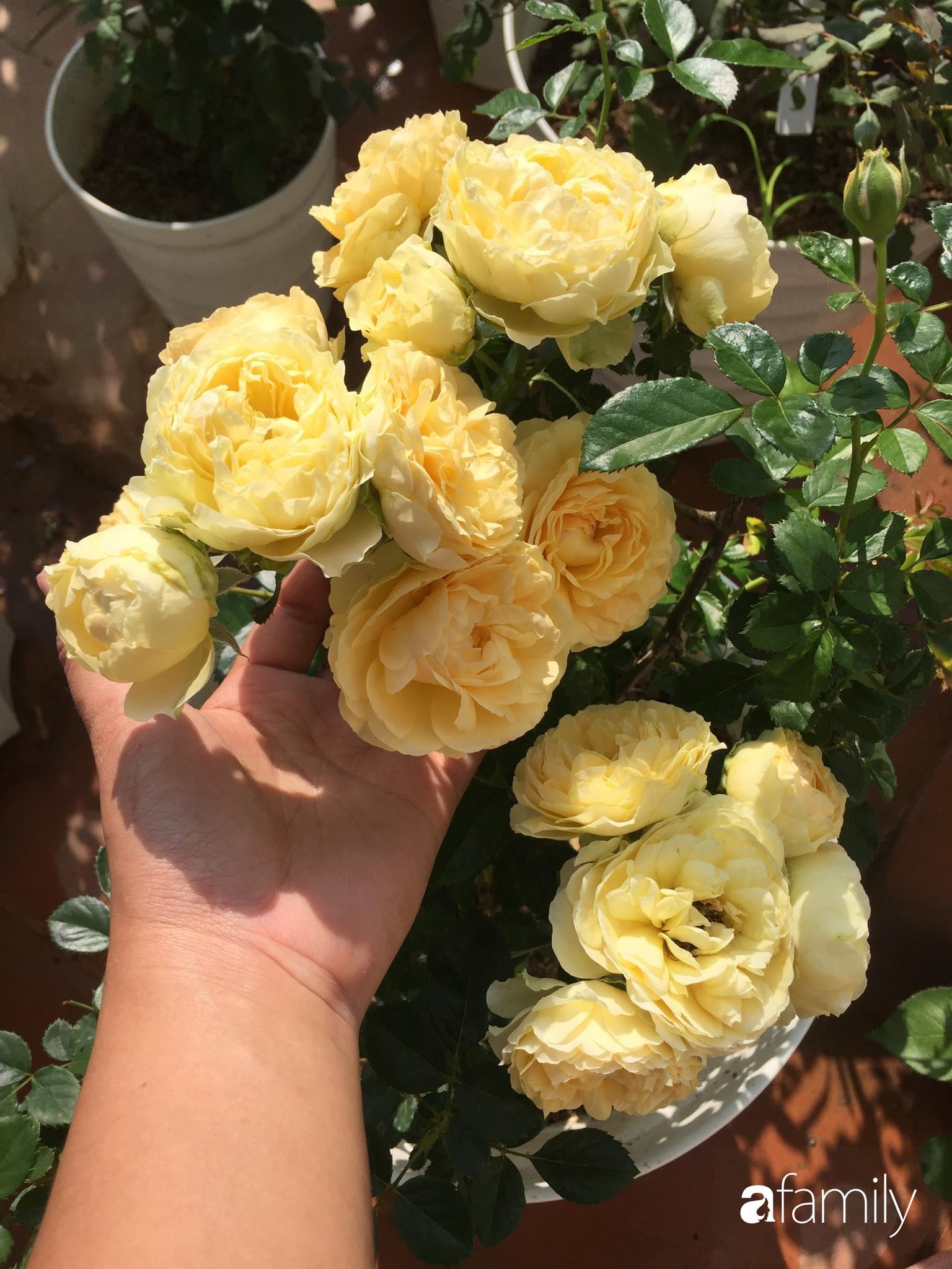 Mê hoa hồng, cô gái trẻ xứ Huế quyết tâm thức khuya dậy sớm tạo cả vườn hồng rực rỡ trên sân thượng - Ảnh 7.