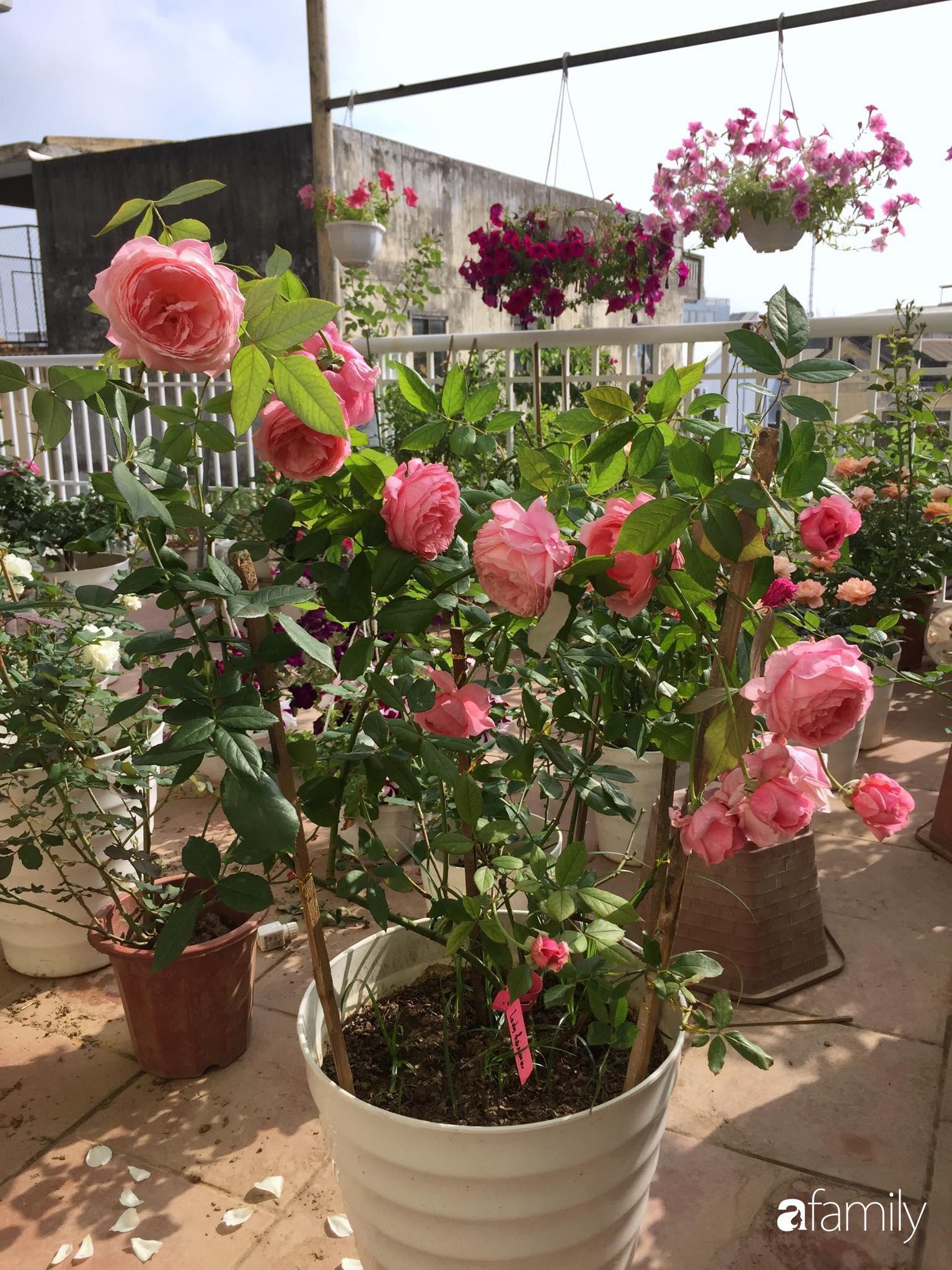 Mê hoa hồng, cô gái trẻ xứ Huế quyết tâm thức khuya dậy sớm tạo cả vườn hồng rực rỡ trên sân thượng - Ảnh 6.