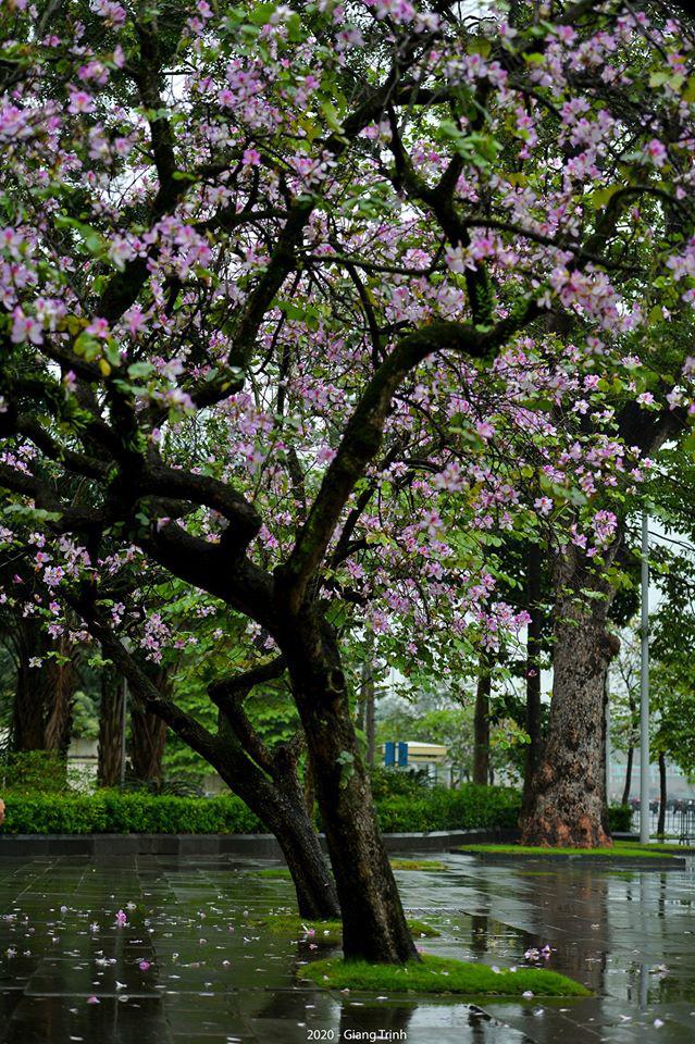 Những ngày ảm đạm vì dịch bệnh và mưa rét, chẳng ai nhận ra hoa ban tím đã lặng lẽ bung nở từ khi nào - Ảnh 3.