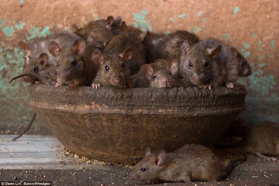 Kỳ lạ ngôi đền nuôi 20.000 con chuột