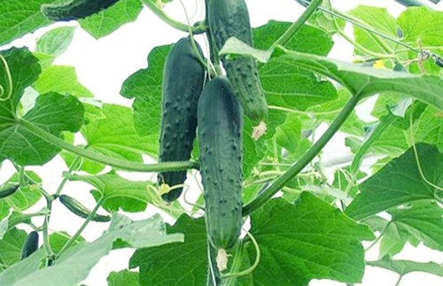 Tự trồng dưa chuột tại nhà: làm đẹp và làm xanh không gian sống 10