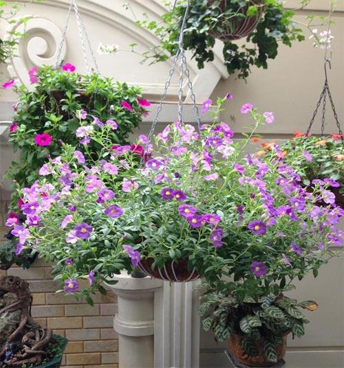Trồng hoa dạ yến thảo che khuyết điểm cho ban-công cũ 9