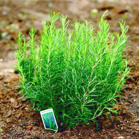 Trồng cây hương thảo trong chậu trang trí nhà đón Tết 1