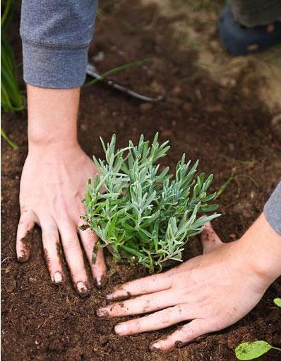 Image result for cây hương thảo