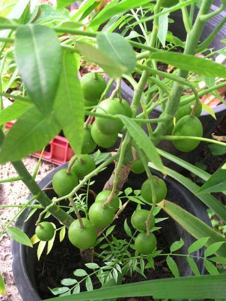 Hướng dẫn trồng cây cóc Thái cực sai quả trong chậu ở nhà phố 8