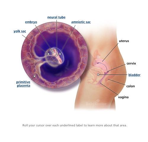 Sự phát triển của thai nhi trong 3 tháng đầu thai kỳ 3