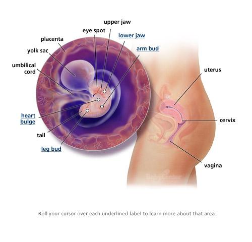 Sự phát triển của thai nhi trong 3 tháng đầu thai kỳ 4