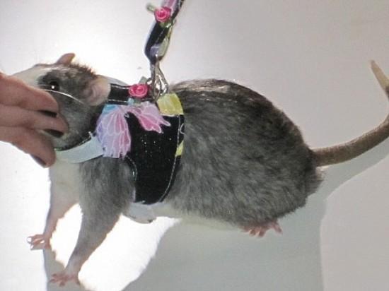 Những người yêu chuột một cách kỳ quặc 4