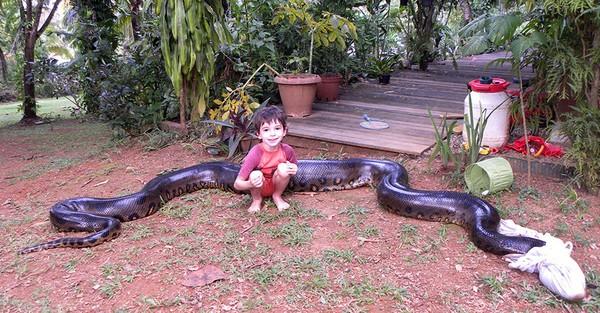 Bắt sống trăn khổng lồ dài 5,2m, nặng 79kg 1