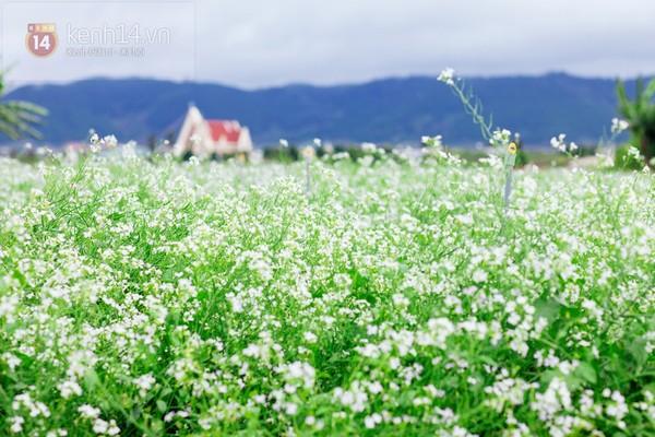 Chùm ảnh: Ngắm mùa hoa ban, hoa cải trắng đẹp mê mẩn ở Đà Lạt 1