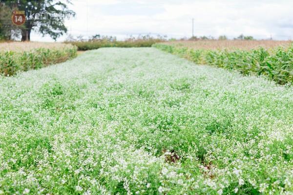 Chùm ảnh: Ngắm mùa hoa ban, hoa cải trắng đẹp mê mẩn ở Đà Lạt 2