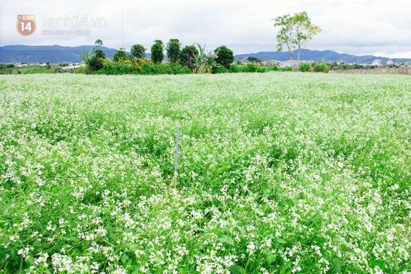 Chùm ảnh: Ngắm mùa hoa ban, hoa cải trắng đẹp mê mẩn ở Đà Lạt 3